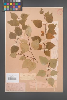 Betula ulmifolia [KOR 33867]