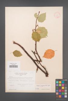 Betula utilis [KOR 12139]
