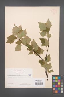 Betula verrucosa [KOR 48081]