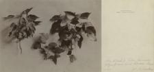 Prywatne archiwum fotograficzne roślin drzewiastych Stanisława Sokołowskiego : Bluszcz