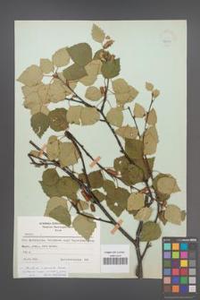 Betula ×aurata [KOR 48071]