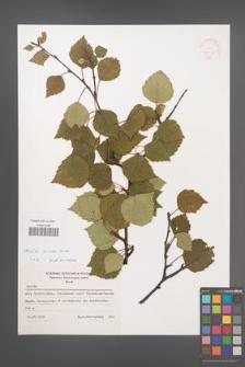 Betula aurata [KOR 48069]