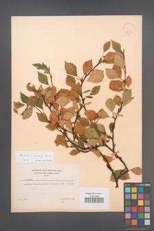 Betula ×aurata [KOR 48091]