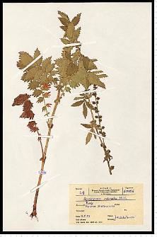 Agrimonia procera Wallr.