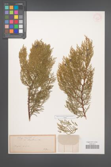 Biota orientalis [KOR 37260]