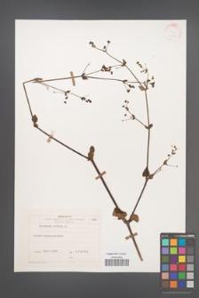 Boerhavia diffusa [KOR 25775]