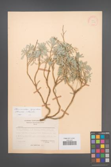 Bornmuellera thymphaea [KOR 21193]