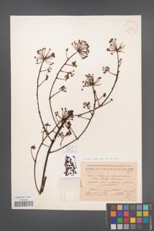 Brassaiopsis glomerulata [KOR 42921]