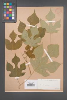 Broussonetia papyrifera [KOR 33875]