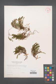 Bruckenthalia spiculifolia [KOR 12312]