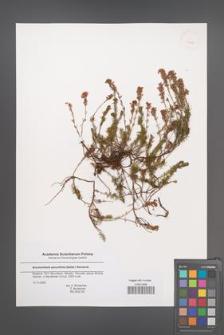 Bruckenthalia spiculifolia [KOR 43686]