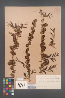 Buddleia [Buddleja] alternifolia [KOR 55301]