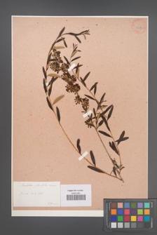 Buddlea [Buddleja] alternifolia [KOR 33877]