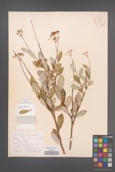 Bupleurum fruticosum [KOR 12329]