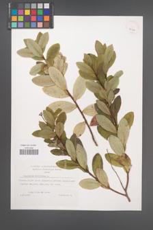 Bupleurum fruticosum [KOR 39301]