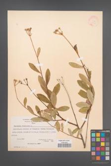 Bupleurum fruticosum [KOR 21210]