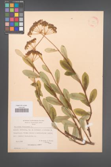 Bupleurum fruticosum [KOR 21207]