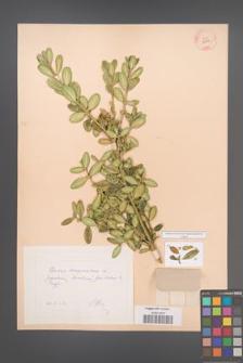 Buxus sempervirens [KOR 12344]