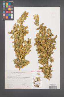 Buxus sempervirens [KOR 49203]