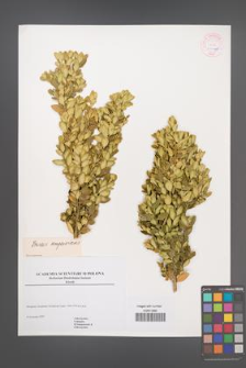 Buxus sempervirens [KOR 54368]