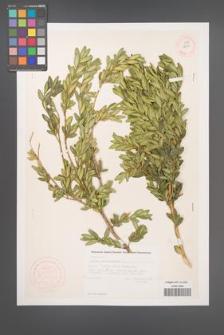 Buxus sempervirens [KOR 12350]