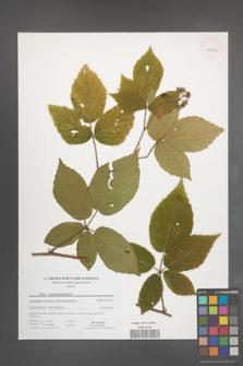 Rubus pseudosiemianicensis [KOR 44562]