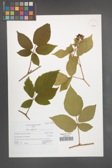 Rubus pseudosiemianicensis [KOR 42760]