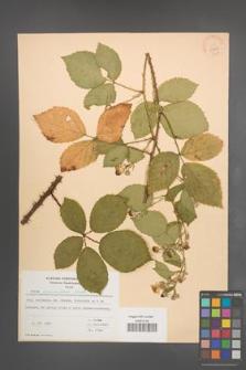 Rubus pyramidalis [KOR 23289]