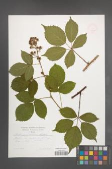 Rubus pyramidalis [KOR 47481]