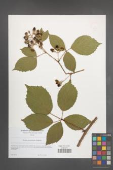 Rubus pyramidalis [KOR 49216]