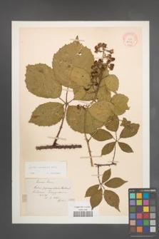 Rubus pyramidalis [KOR 10954]