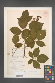Rubus pyramidalis [KOR 54323]
