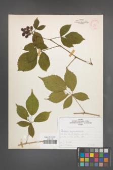 Rubus pyramidalis [KOR 52084]