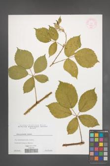 Rubus pyramidalis [KOR 44354]