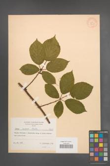 Rubus radula [KOR 8631]