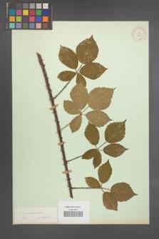 Rubus radula [KOR 10958]