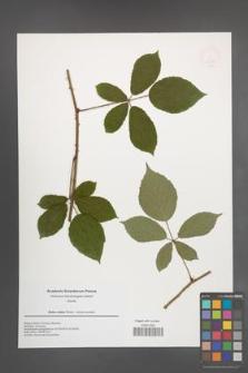 Rubus radula [KOR 49937]