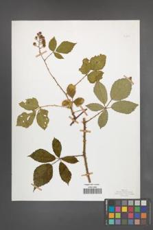 Rubus radula [KOR 50849]