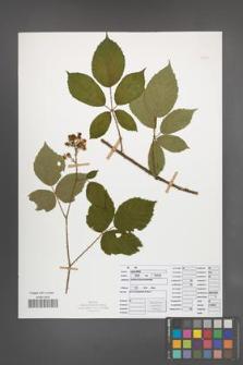 Rubus radula [KOR 50844]