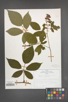 Rubus radula [KOR 50828]