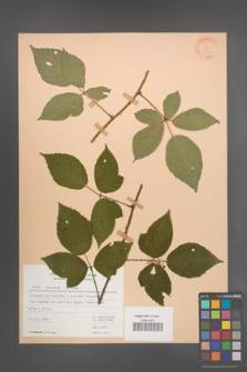Rubus radula [KOR 22931]