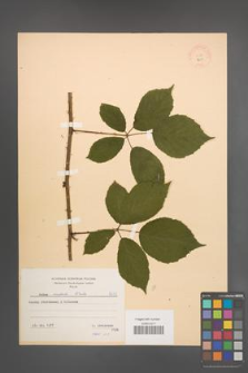 Rubus radula [KOR 8633]