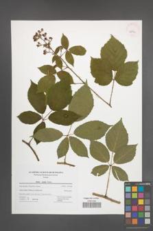 Rubus radula [KOR 42792]