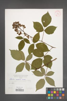 Rubus radula [KOR 29414]