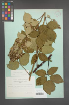Rubus radula [KOR 23757]