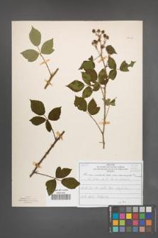 Rubus radula [KOR 51018]
