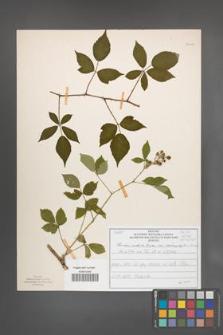 Rubus radula [KOR 51017]