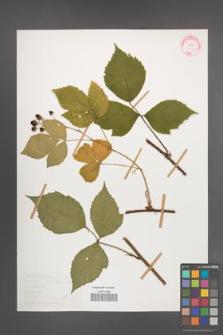 Rubus rudis [KOR 30542]