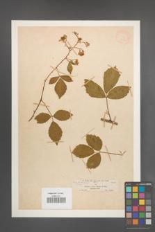 Rubus rudis [KOR 18550]