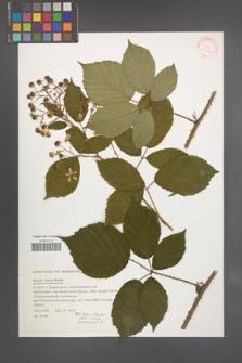 Rubus rudis [KOR 31529]